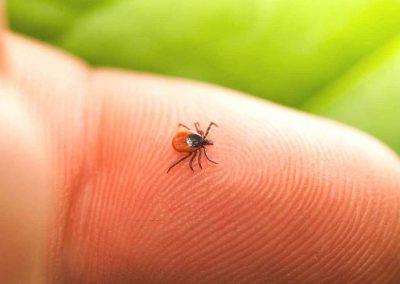 Herbal formulas effective against Lyme